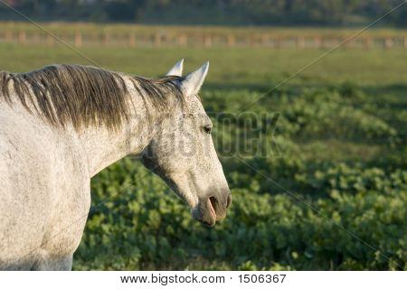 Grey Horse With Flea Bite Marking On Coat