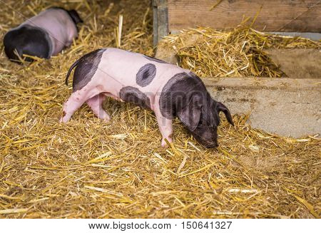 German breed piglet - Image with a two weeks old piglet Swabian-hall swine breed from a small german farm.