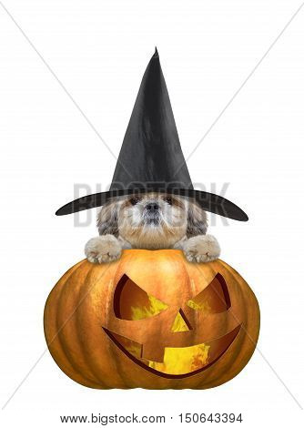 Cute dog in a costume with halloweens pumpkin -- isolated on white