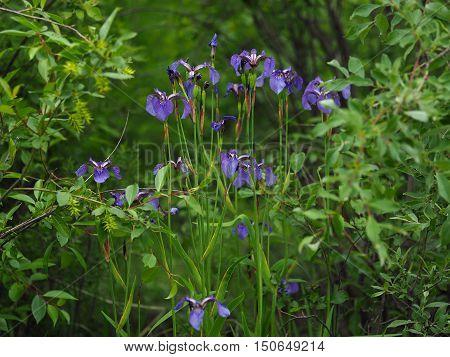 Dense thickets of Iris setosa in Yakutia