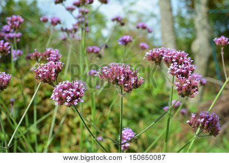 Verbena bonariensis purple flowers blooming in garden