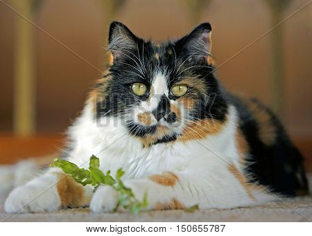 Calico female Cat in house playing with leaf from Houseplant