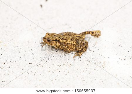 Hoptoad On Tile In Garden During Summertime.