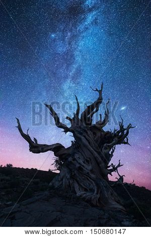 Bristlecone pine forest at night
