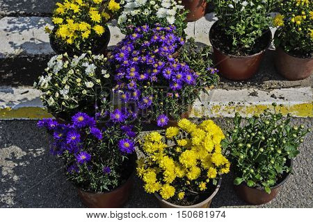 Miscellaneous colored flowers on a market in pots waiting customers.