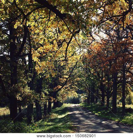 Oak Alley. Yellow Autumn Leaves. Valaam Island.