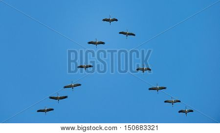 Common crane (Grus grus), birds migrating, flying in formation.