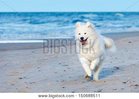 white Samoyed dog runs along the beach near the sea