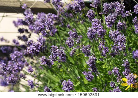 Gardens with the flourishing lavender in France
