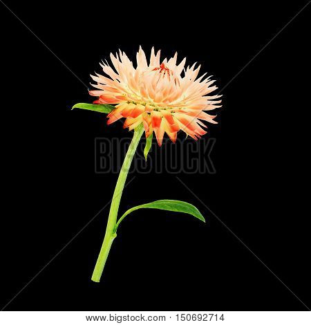 Strawflower with stalk on a black background. Isolated from background.