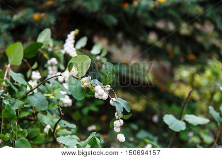 Symphoricarpos Albus Laevigatus - Common Snowberry Plant With White Berries