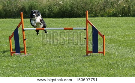 A Collie Dog Jumping an Agility Obstacle Race Fence.