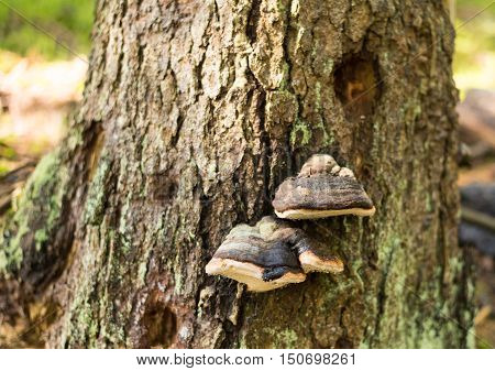 Fomes fomentarius commonly known as the tinder fungus false tinder fungus hoof fungus tinder conk tinder polypore or ice man fungus. Old mushrooms in forest. (Fomes fomentarius) Tinder conk Fomes fomentarius on a tree trunk