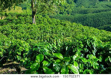 Endless rows of coffee plants on a coffee plantation near Manizales Colombia