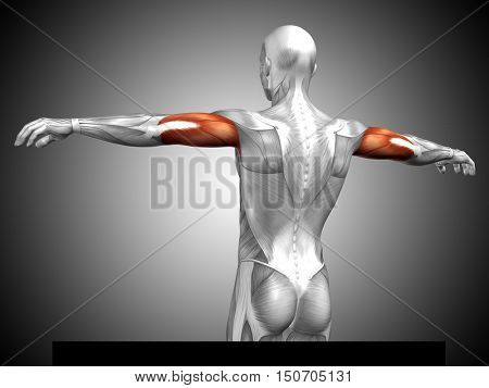 Concept or conceptual 3D illustration triceps human anatomy or anatomical and muscle on gray background