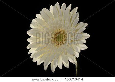 White Flower Not-centered Gerbera Close-up Back-lit Black Background