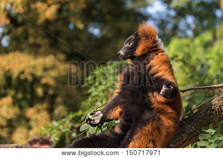 A red ruffed lemur (Varecia rubra) is sunbathing on the branch of a tree