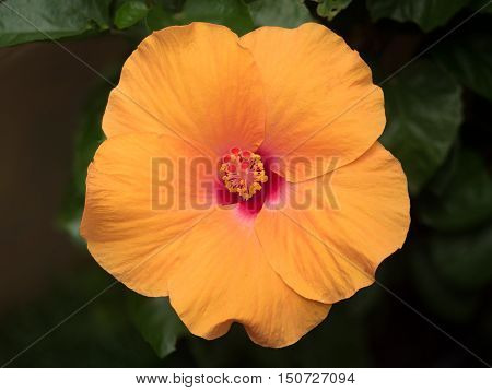 Beautiful orange hibiscus flower on nature background