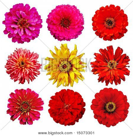 collection of Zinnia elegans flowers isolated on white with clipping path