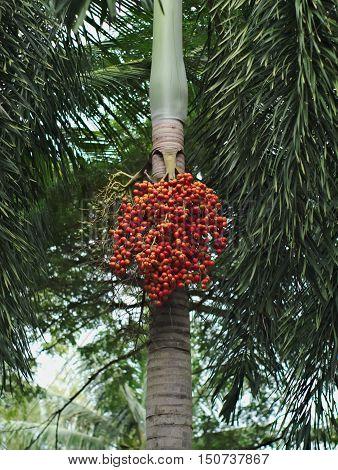 foxtail palm foxtail palm tree or Wodyetia bifurcata's seed