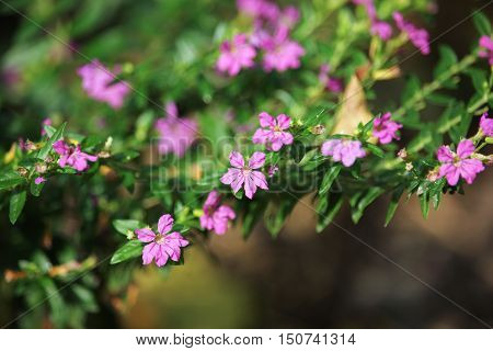 Close up of Small False heather Flower