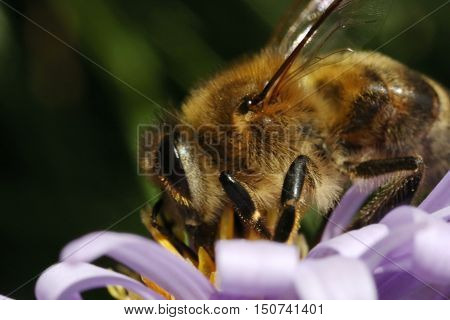 animals, insects, Apoidea, Stabilizatori, Hymenoptera, flying, summer,honey, pollen