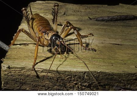 Close up of a New Zealand Weta. Family Rhaphidophoridae sitting on an old piece of wood