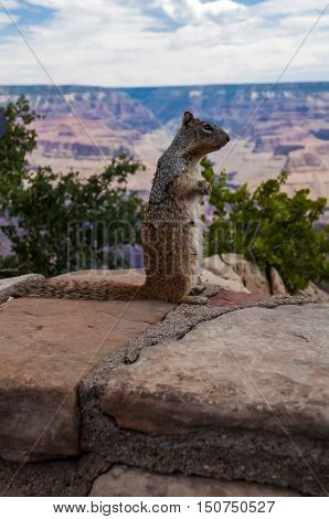 Grand Canyon Squirrel posing for food, south rim