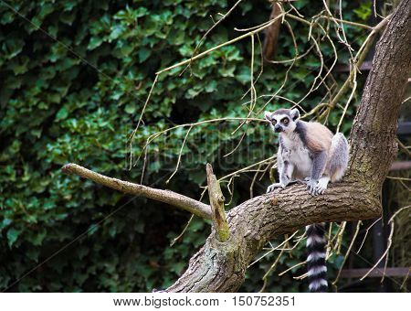 Closeup of a ring tailed lemur (Lemur catta