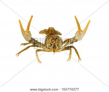 alive crayfish isolated on white background close up
