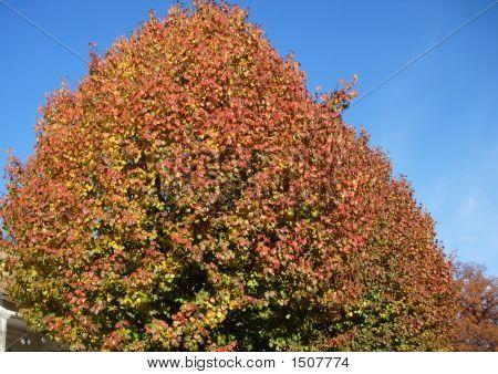 Bradfor Pear Trees