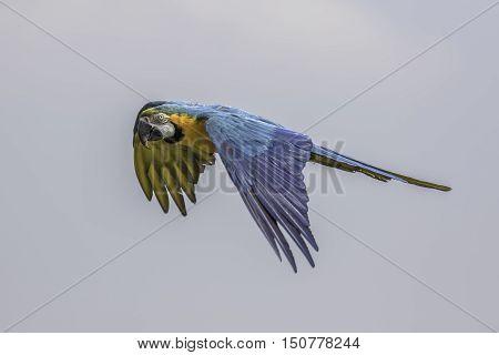 Blue and gold (yellow) macaw (Ara ararauna) in flight against a plain sky
