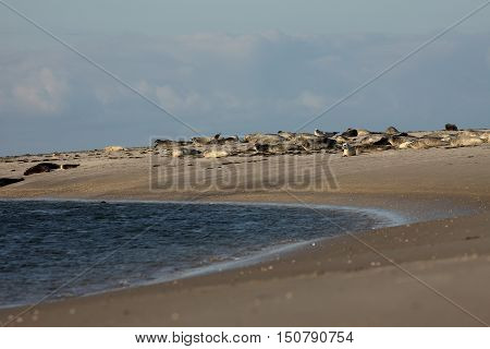 The Seals on the sandbank of the north sea