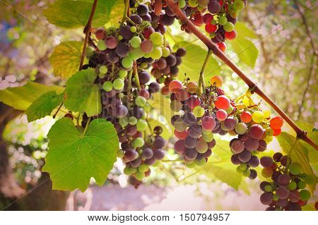 Vineyard at sunset, colorful homemade grapes in sunrays