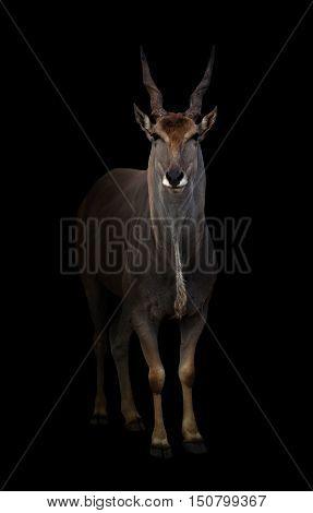 Eland Standing In The Dark