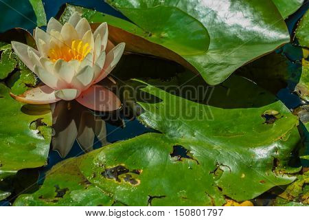a beautiful flower-filled white waterlily sunlit / close-up of  a flowery waterlily