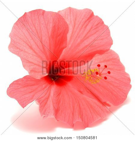 Pink hibiscus isolated on white background. Flower. Flat.