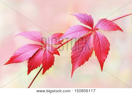 Autumn branch red leaves of grapes. Isolated on abstract background.
