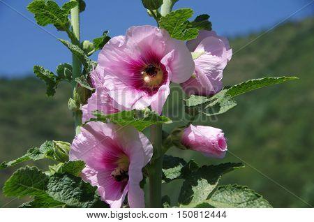 Flower in Srinagar in Kashmir, in India