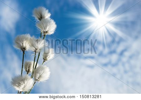 Blooming cotton grass against blue sky with clouds