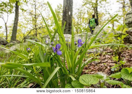 Spiderwort Flowers with Appalachian Trail and Hiker in background