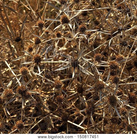 Dry field eryngo plant (Eryngium campestre) in autumn