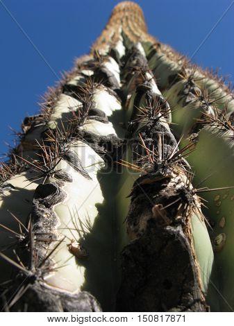 Looking up at a tall Saguaro cactus in Arizona