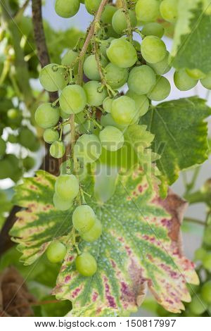 White wine grape treated by spraying. powdery mildew. plant diseases