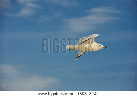 Seagull Flying Left To Right Against Blue Sky