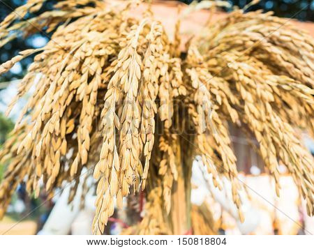 Close Up of ears of ripening golden wheat.