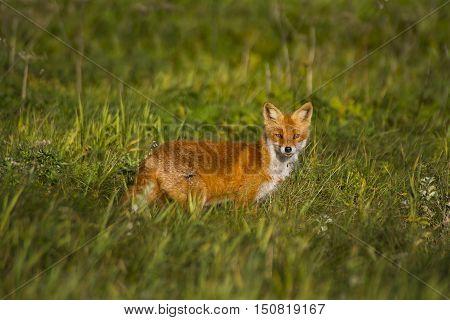 Fox in meadow/Red Fox in grassy meadow.