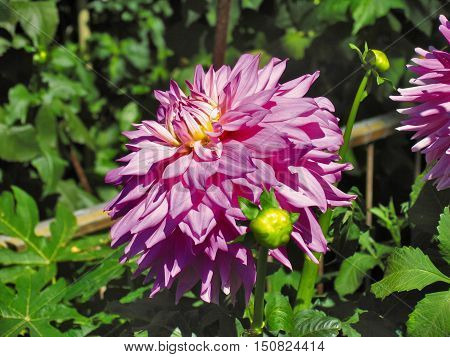 Purple Dahlia With Green Foliage Back Ground a1