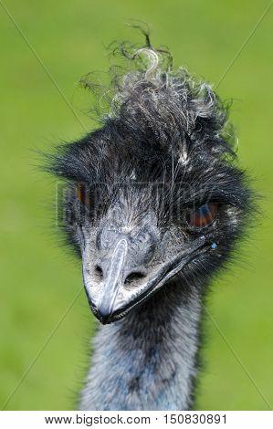 Emu bird portrait. It is the biggest Australian bird
