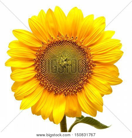 Sunflower isolated on white background. Flower. Flat.